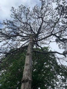 Woodlawn's History Is Deeply Rooted In Trees