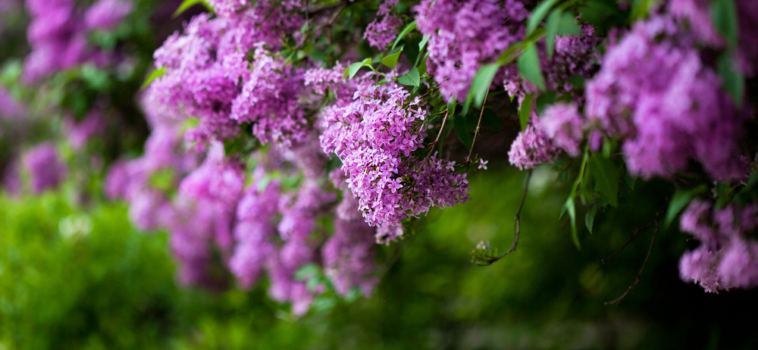 Lilac Remembrance Service at Woodlawn Memorial Park